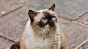 Feline hyperthyroidism is common but treatable